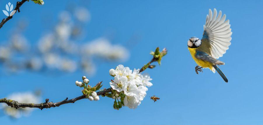 Mésange volant vers des fleurs de pommier et les insectes qui les butinent