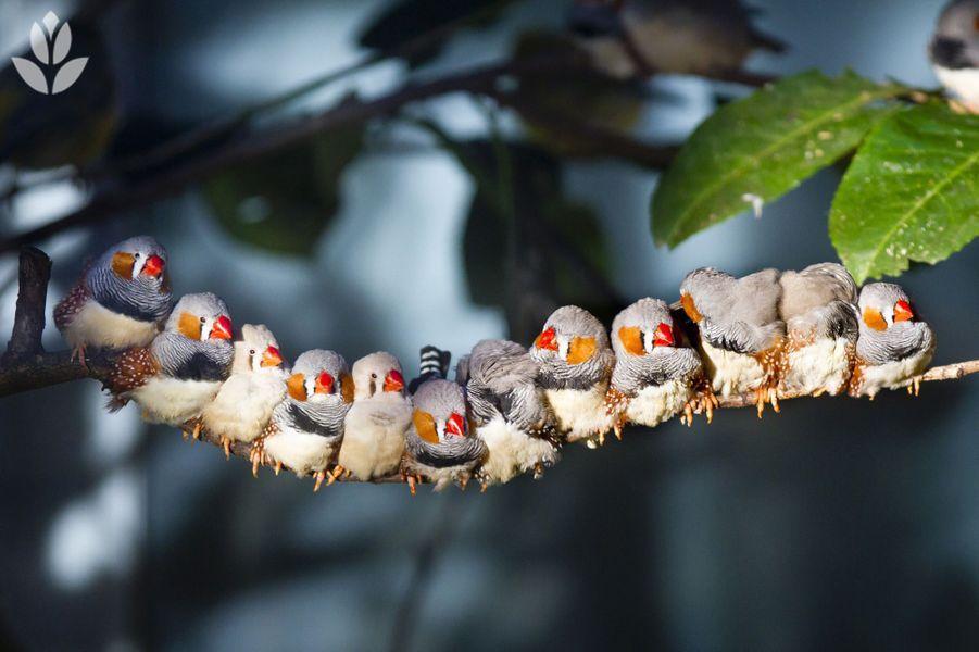 """""""Brochette"""" de pinsons posés sur une branche"""