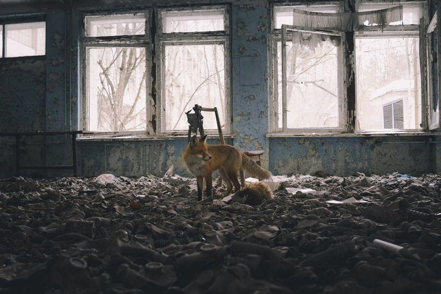Maître Renard d'Adrian Bliss.Adrian explorait une école abandonnée quand ce renard apparut, peut-être attiré par l'intrus ou simplement en maraude. Il s'arrêta juste assez longtemps pour une image au milieu d'un étrange tapis de masques à gaz pour enfants, puis disparut par une fenêtre brisée. L'école de Pripyat en Ukraine, a été abandonnée comme la ville entière en 1986, suite à l'explosion du réacteur de la centrale nucléaire de Tchernobyl, située à 3 km. Ce fut le pire accident nucléaire de l'histoire et les radiations retombèrent sur toute l'Europe. La ville, maintenant en ruines a été pillée mais ces masques, vestiges de la guerre froide, ont été laissés car sans valeur. Pripyat est située dans la zone d'exclusion qui s'étend sur 30 km où seules les personnes autorisées peuvent pénétrer. En l'absence d'humains, la forêt reprend ses droits, et les sangliers, les cerfs, les élans et les lynx sont revenus. On y croise même des ours et des loups. On avait recommandé à Adrian de ne pas s'approcher de certaines zones à cause de niveaux de radiations encore trop élevés et bien que leurs effets sur la faune soient loin d'être connus, la vie sauvage semble prospérer.