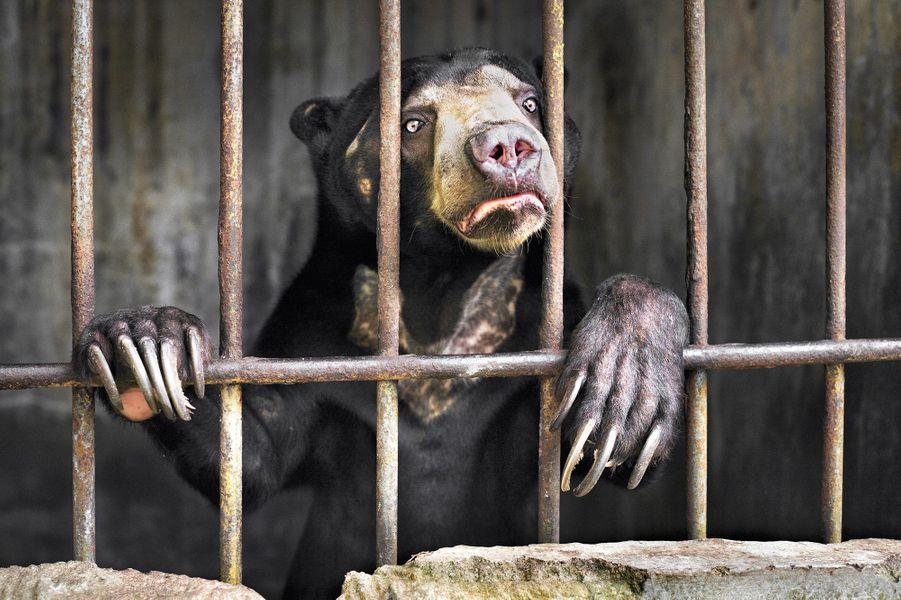 Témoin d'Emily Garthwaite.Dès qu'il vit Emily, l'ours malais se précipita à la grille de son immonde cage. «À chacun de mes déplacements il me suivait ». C'était l'un des nombreux ours gardés dans les coulisses d'un zoo de Sumatra, en Indonésie, dans des conditions épouvantables, selon Emily. Ce sont les ours les plus petits du monde et leurs populations sont en danger critique d'extinction. Dans les forêts basses du sud-est asiatique, ils passent leur temps dans les arbres, consommant des fruits et des petits animaux. Ils utilisent leurs longues griffes pour creuser le bois pourri à la recherche de larves d'insectes. Ils sont menacés par la déforestation et la demande de bile et d'organes pour la médecine traditionnelle chinoise. L'abattage illégal d'arbres pour planter des palmeraies à huile est également lié au trafic de cette espèce. Quand cet ours malais vit son dresseur, il commença à crier. C'était un bruit effrayant. Encore plus glaçant était le musée de taxidermie proche où étaient présentés des pangolins et des tigres de Sumatra.