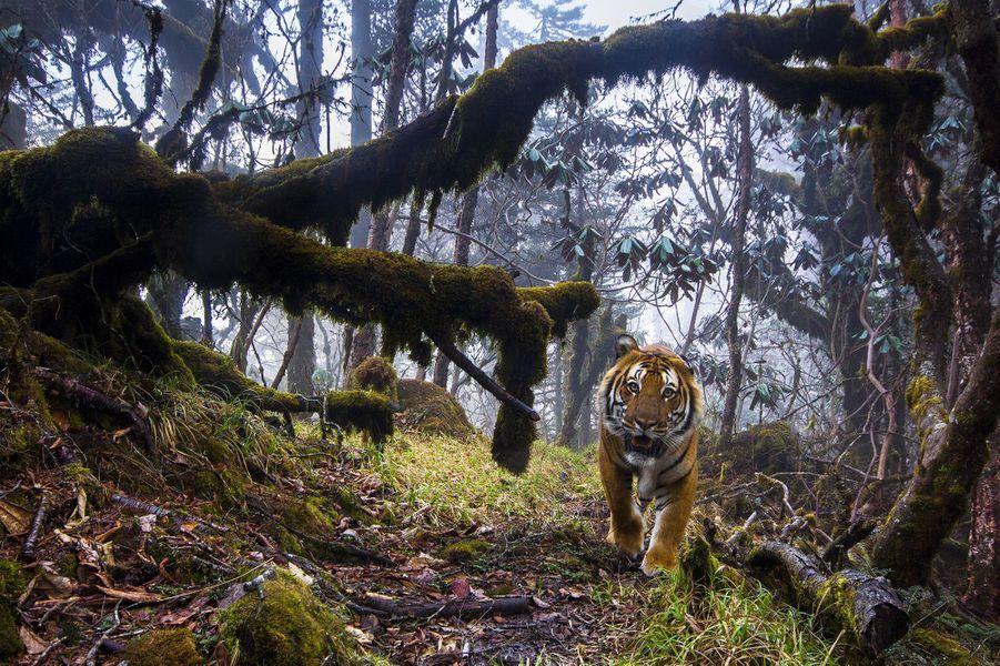 """""""Le pays du tigre"""" d'Emmanuel Rondeau.Dans les hautes forêts perdues de l'Himalaya, au centre du Bouthan, un tigre du Bengale fixe l'objectif. Le sentier qu'il remonte fait partie d'un réseau de pistes qui relie les parcs nationaux entre eux. Ces corridors de déplacements sont cruciaux pour cette sous-espèce menacée, victime du braconnage et de l'exploitation forestière. Il n'en resterait que 103 au Bouthan. Emmanuel et un groupe de gardes parcouraient le terrain accidenté avec de quoi poser huit pièges photo et autant de caméras le long d'une piste, dans l'espoir d'entrevoir le passage d'un tigre. Ils s'étaient concentrés sur les zones où l'espèce avait été récemment repérée, cherchant des traces, des grattages ou des crottes. Emmanuel installa ses appareils sur des pieux dans les lieux qui semblaient les plus propices. Il composa son image pour que le sujet apparaisse dans son environnement montagneux. Et vingt-trois jours plus tard, après des centaines de déclenchements intempestifs surtout liés aux feuilles et au vent, il décrocha enfin le jackpot : un magnifique mâle qui, au vu du dessin de ses rayures, n'était pas encore recensé au Bouthan. Le fauve inspecta le matériel de très près avant de disparaître dans la forêt, nous laissant cette image rare, comme une invitation à protéger son royaume."""