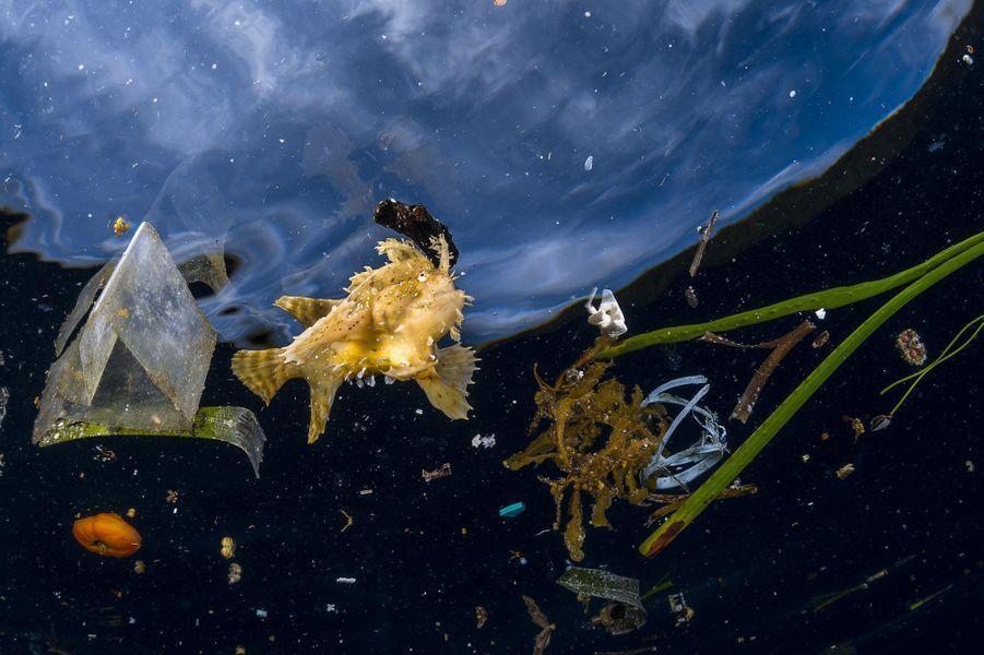 """""""La vie malgré tout"""" deGreg Lecœur.Ce poisson-grenouille des sargasses ne pouvait se dissimuler au milieu des déchets. La fronde de sargasse à la dérive n'est qu'un pâle souvenir des radeaux flottants d'algues qui abritent normalement ce poisson et de nombreuses autres espèces spécialisées. C'est un maître du camouflage qui chasse à l'affût, il capture ses proies avec ses nageoires bordées de sortes de griffes à travers les frondes de ces îles flottantes, dissimulé par sa couleur brune et sa silhouette plumeuse. Greg découvrit cet individu alors qu'il rentrait d'une plongée sur les riches récifs de l'archipel indonésien de Raja Ampat. C'est une zone de l'ouest du Pacifique où convergent de puissants courants qui amènent des nutriments alimentant une riche biodiversité. Ces courants récupèrent et concentrent aussi tout ce qui flotte, incluant des millions de tonnes de plastique qui finissent chaque année dans les mers du globe."""