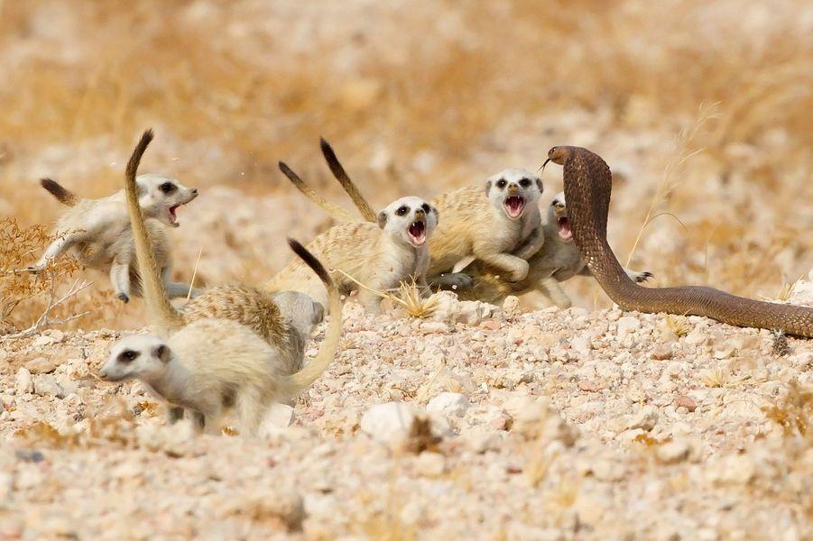La patrouille des suricates deTertius A. Gous.Lorsque ce cobra d'Angola déploya son capuchon et s'approcha de deux jeunes suricates à proximité de leur terrier dans les montagnes de Brandberg en Namibie, le reste de la troupe réagit instantanément. Le groupe de 20 individus se sépara en deux : certains prirent les juvéniles et se mirent à distance respectueuse, les autres firent face au serpent. Fourrure gonflée, queue dressée, les suricates avançaient en grognant et chaque fois que le serpent s'approchait, ils reculaient. Cette chorégraphie se répéta pendant dix minutes. Assis dans son véhicule, Tertius était au premier rang et se délectait à l'idée de mettre en image ce comportement peu documenté entre les suricates etNaja anchietae. Il fit le point sur le profil et la langue agitée du serpent, tout en conservant l'expression agressive des suricates faisant presque tous face à l'assaillant. Finalement, le cobra abandonna et disparut dans un terrier. La famille se réunit, puis se hâta de disparaître dans un autre gîte de leur territoire à l'abri du prédateur.