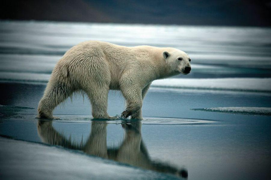 """Une jeune ourse polaire cherche désespérément de la nourriture sur la banquise qui dégèle, dans la baie de Radstock, sur l'île Devon, au Canada.Aujourd'hui, les calottes polaires fondent plus vite qu'elles ne se reconstituent. Le photographe franco-britannique, Sebastian Copeland s'est fait le témoin de leur fragilité au fil de lents périples : 8 000 kilomètres àski enArctiqueet enAntarctique. Il est, jusqu'au 15 novembre, à Paris Photo, au Grand Palais, pour la sortie de son dernier livre, « Arctica ». Un testament sur la beauté des grands déserts blancs. Et un cri d'alarme : « Ces trente dernières années, davantage de glace a disparu que pendant le million d'années précédent. »Dans ce monde hostile, les hommes et les bêtes avaient appris à vivre. Prudemment. Patiemment. Aujourd'hui, leur univers se disloque. Les phoques et les ours ne sont pas les seuls à pâtir d'une banquise évanescente. Quatre millions d'êtres humainspeuplent l'Arctique. Parmi eux, une myriade de peuples autochtones, au mode de vie intimement lié à cet environnement. Plus généralement, la santé des glaces et des neiges concerne l'équilibre de tout le monde vivant. En réverbérant les rayons solaires, elles jouent un rôle clé dans la régulation climatique.""""Je ne suis pas un écolo romantique qui veut sauver les ours polaires. La banquise, c'est de la géopolitique. J'incite, à ma façon, à la prise de conscience"""" assure Sebastian Copeland.A lire aussi: Sebastian Copeland face à la fonte des glaces - A l'Arctique de la mort"""