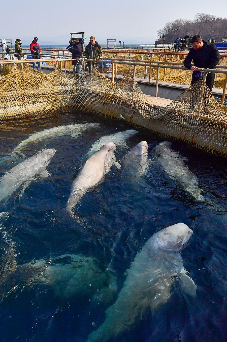 """En 2018, l'entreprise """"Biéli Kit"""" a capturé 10orqueset 87 bélugas. Les animaux sont depuis entassés dans des bassins près du port de Nakhodka, en attendant d'être vendus à des aquariums."""
