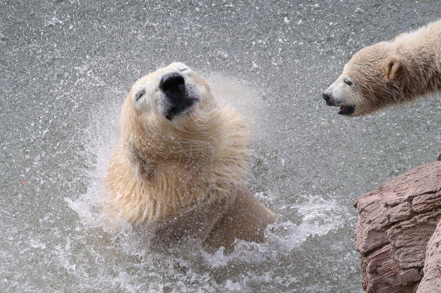Au Marineland d'Antibes, trois oursons blancs évoluent au côté de leur mère.Très fragiles et minuscules à la naissance, avec un poids d'environ 500 grammes, les oursons grandissent très vite et pèsent déjà une vingtaine de kilos.