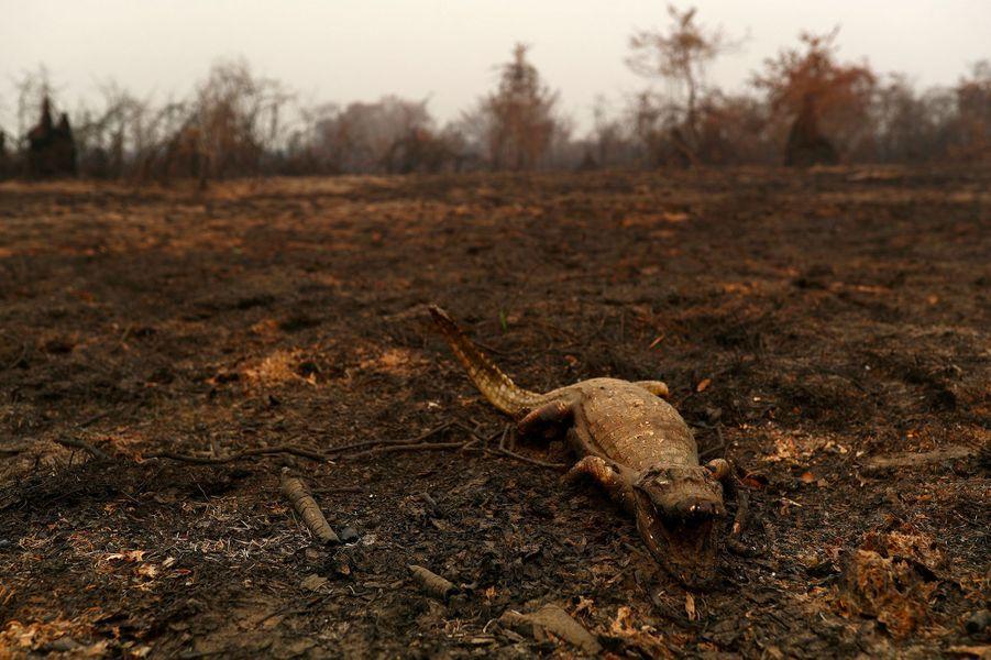 Dans les feux du Pantanal, au Brésil.