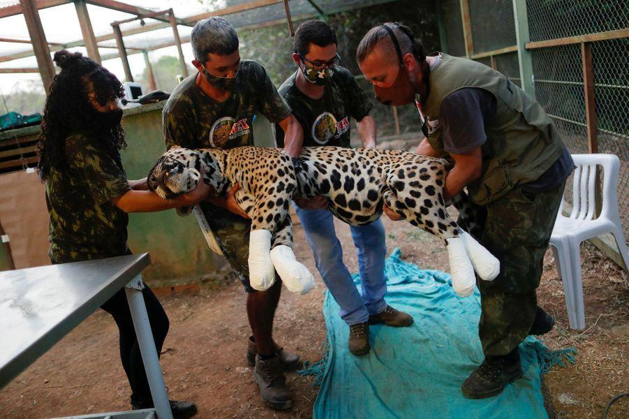 Amanaci, une jaguar femelle gravement blessée aux pattes, a été secourue dans l'Etat du Mato Grosso (centre-ouest), par l'ONG Nex.