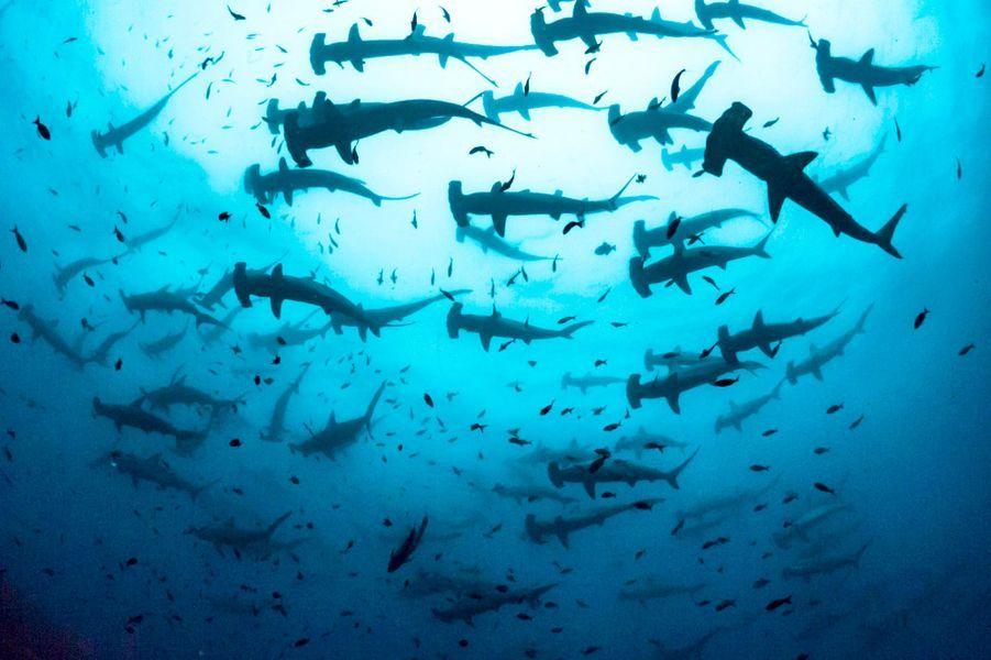 Au large desGalápagos, le biologiste marinSimon J Pierce a immortalisé une sublime scène où requins marteaux et poissons évoluent en toute quiétude.