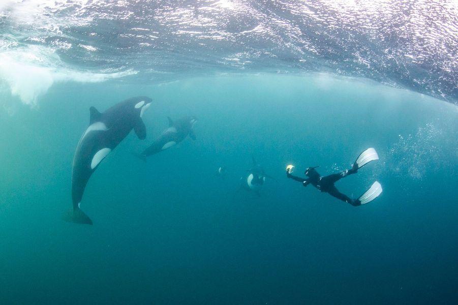 Une famille d'orques en pleine partie de chasse, en Norvège, immortalisée parTodd Thimios.