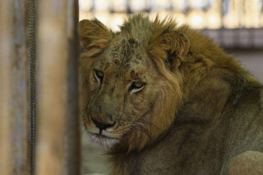 Un lion et une lionne mal-nourris dans le zoo de Khartoum, au Soudan.
