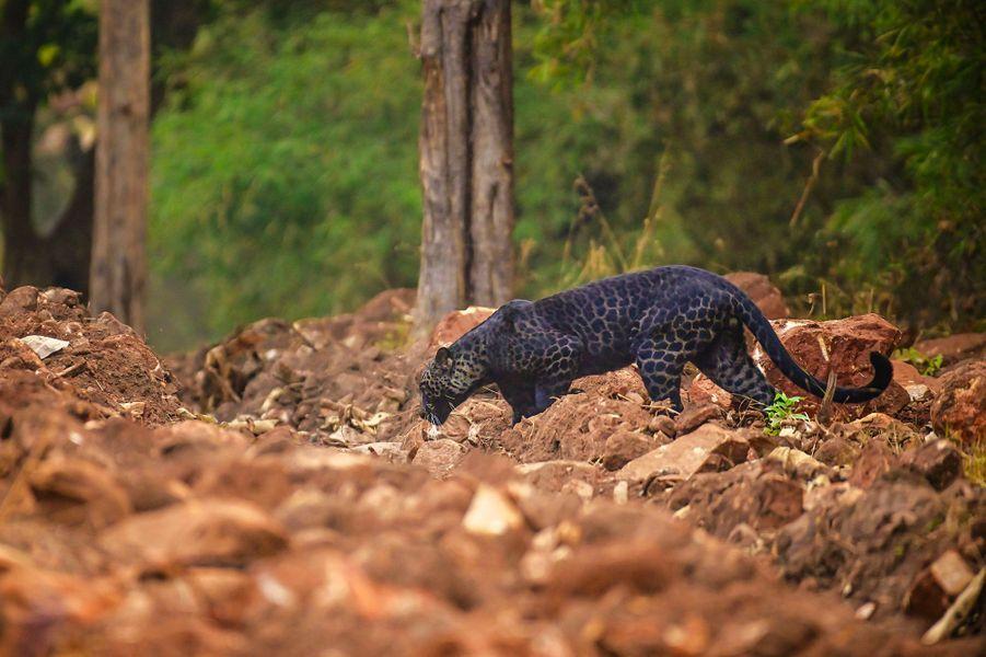 Une panthère noire photographiée lors d'un safaridans le parc national de Tadoba, en Inde.