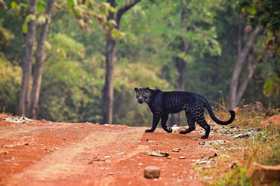 Une panthère noire photographiée lors d'un safaridans leparc national de Tadoba, en Inde.