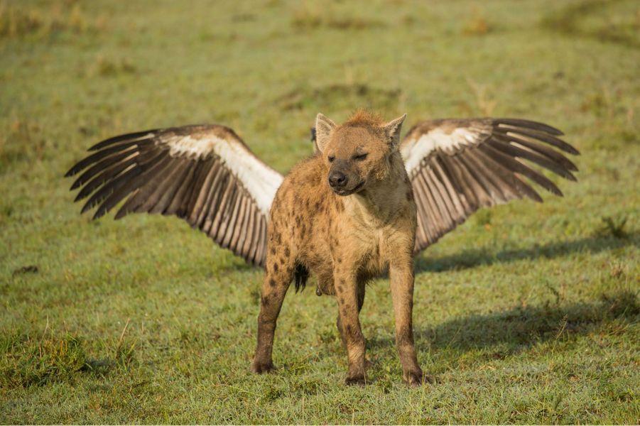 Une hyène aux ailes majestueuses.