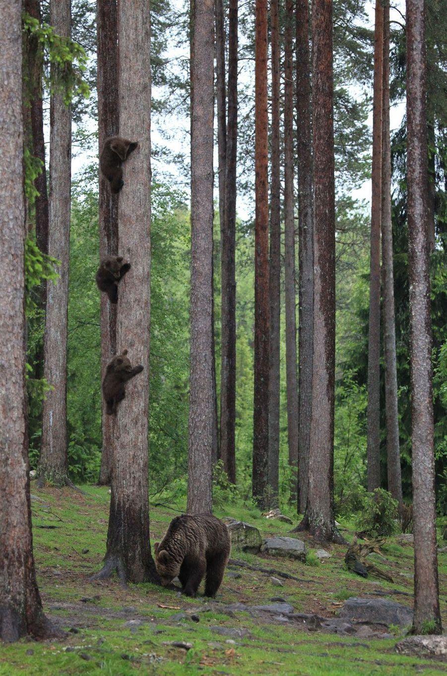 Un mère ours cherche ses oursons.