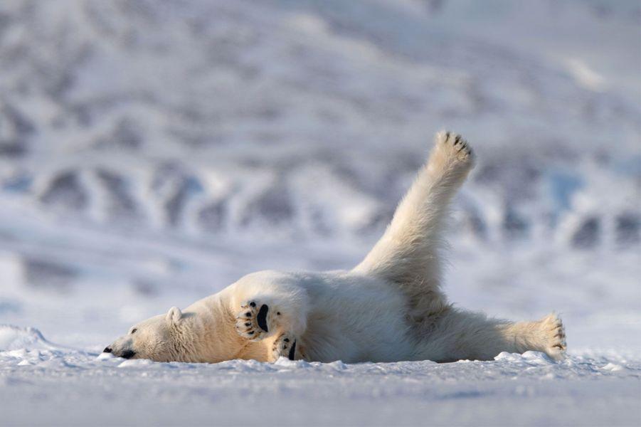 Un ours polaire se prélasse dans la neige.