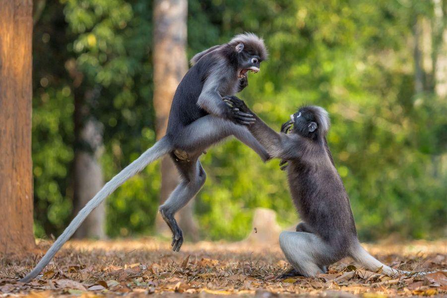 Deux gibbons se chamaillent.