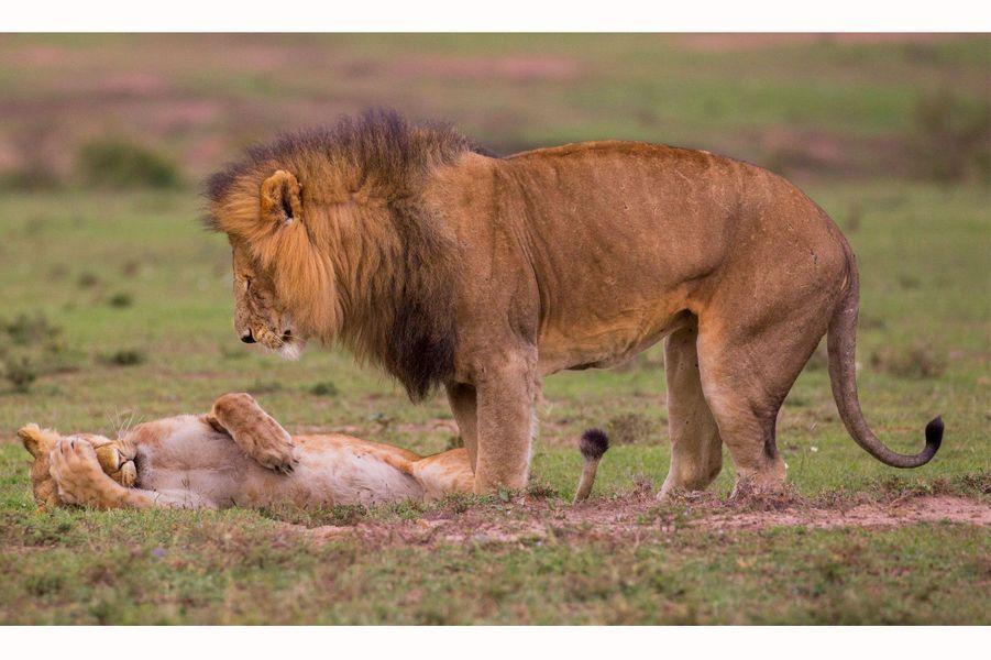 Un couple de lions dans la savane.