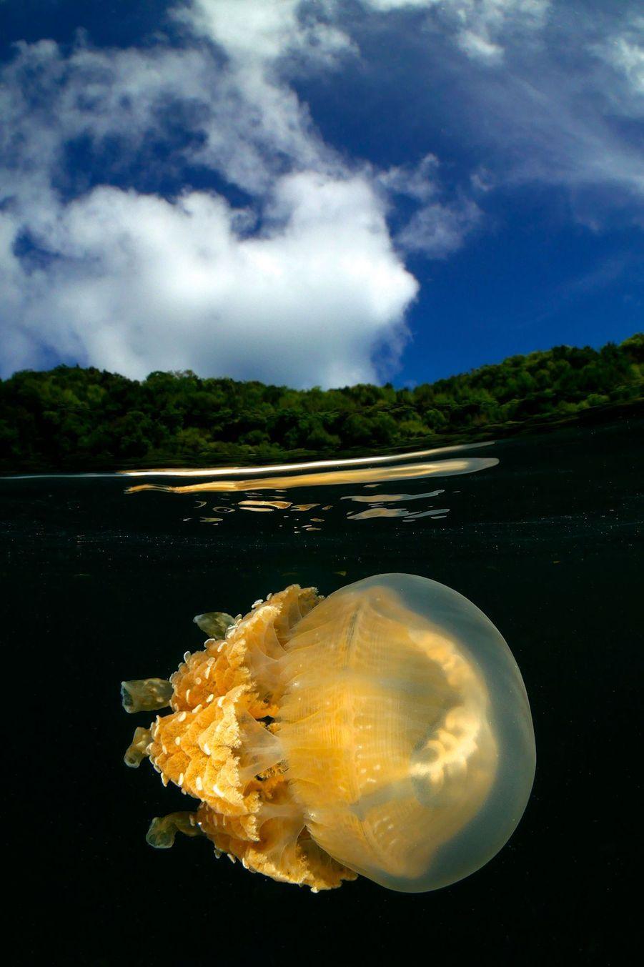 """Jellyfish from Palau"" de Enrico Somogyi,Jellyfishlake, Palaos."