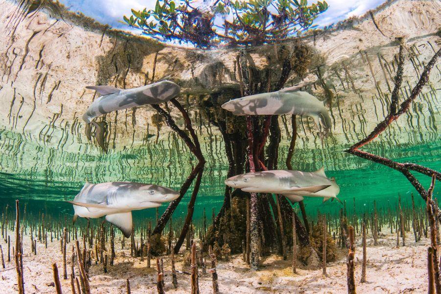 """""""Shark Nursery"""" de Anita Kainrath,Eleuthera, Bahamas."""