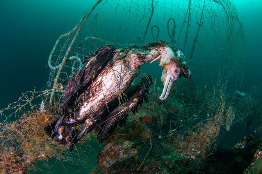 """Cormorant caught in a net"" de Kim André Sund, Norvège."