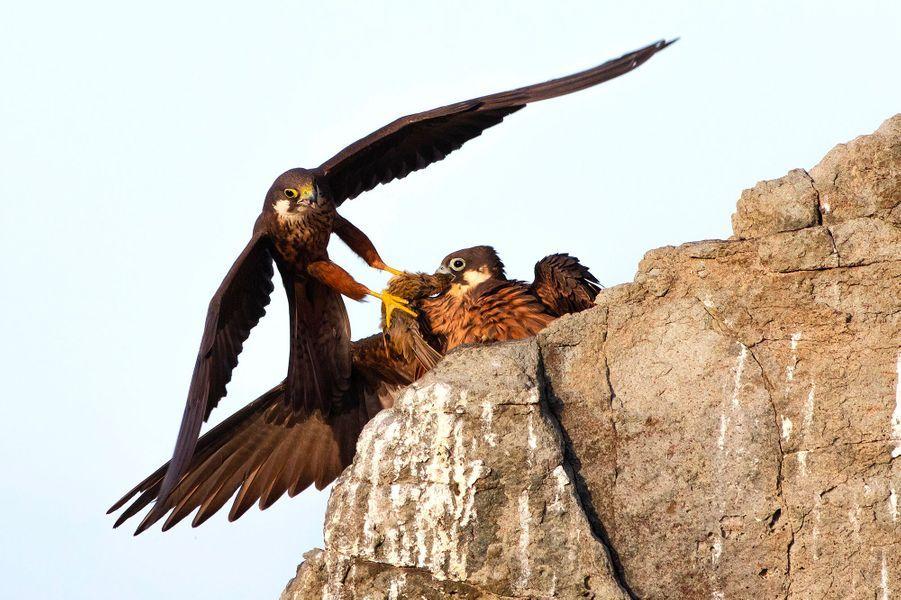 Le cadeau du faucon d'Eléonore