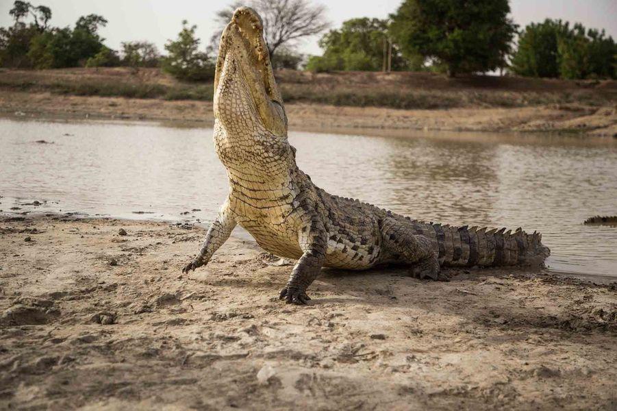 A Bazoulé (Burkina Faso), La complicité entre l'homme et le crocodile est devenue un ressort de développement pour le village.