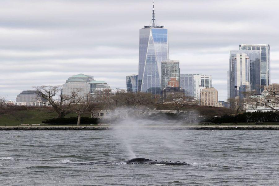 Une baleine à bosse a été photographiée mardi devant la statue de la Liberté, dans l'Hudson River.