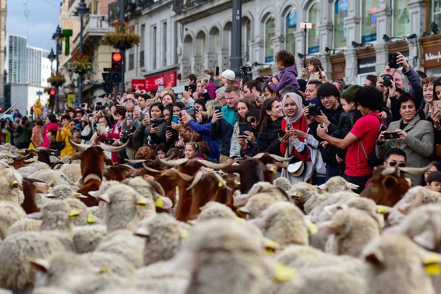 A l'occasion de la fête de la transhumance, près de 2000 brebis accompagnées de leurs bergers ont défilé dimanche dans les rues de Madrid.