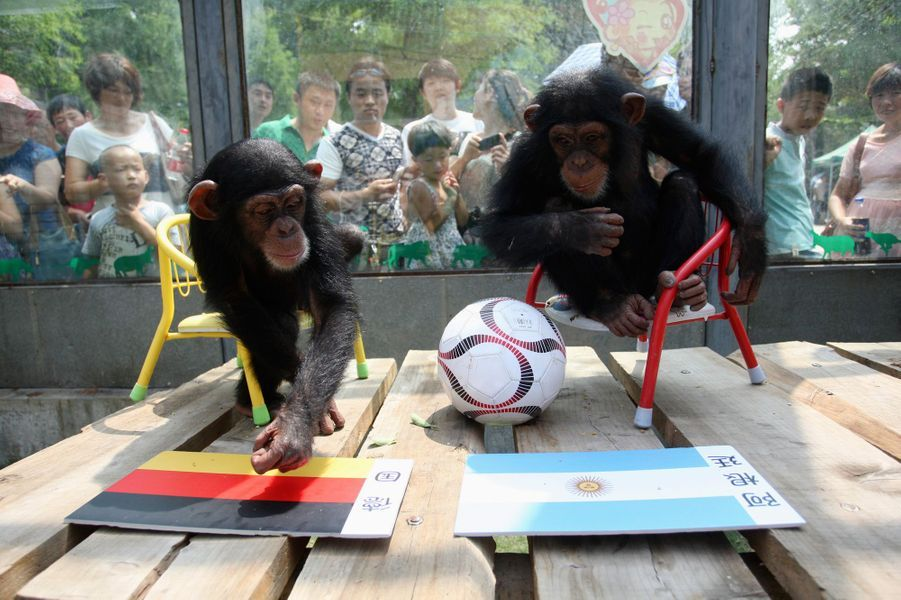 Lili, le chimpanzé chinois (Coupe du Monde 2014)