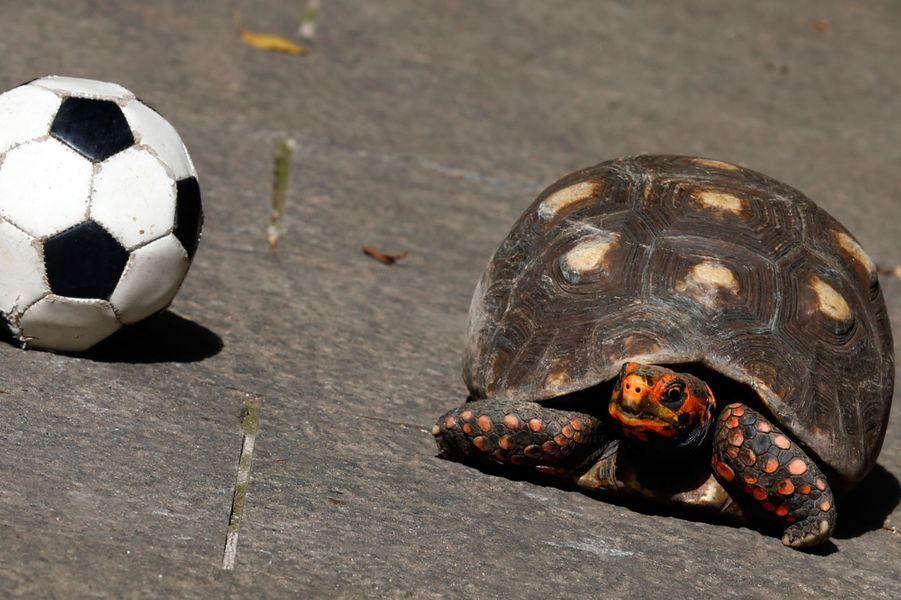 Tina la tortue (Coupe du Monde 2014)