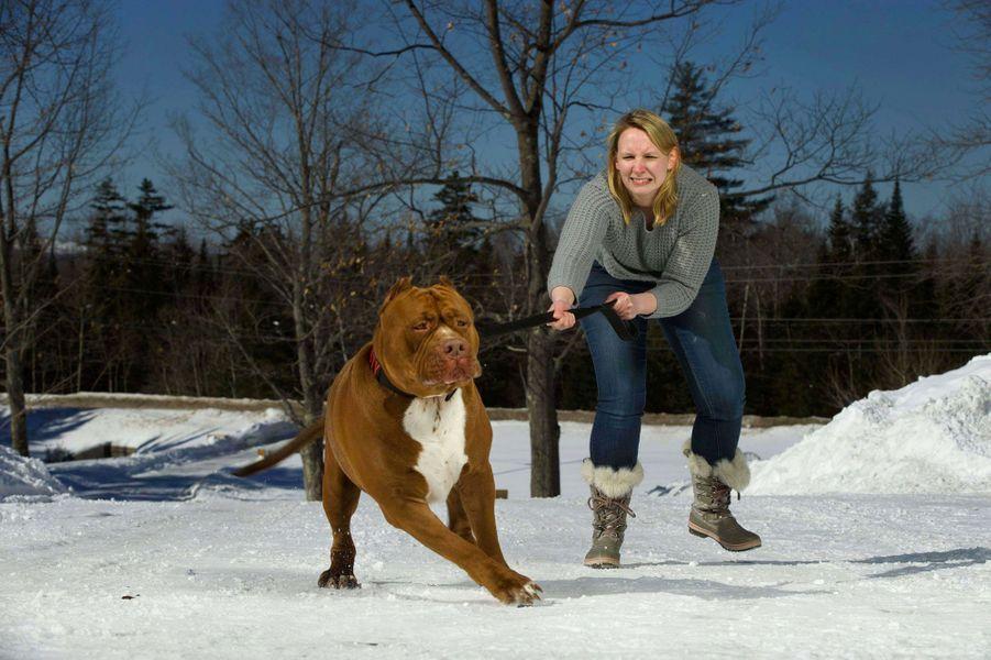 Hulk, le plus gros pitbull au monde
