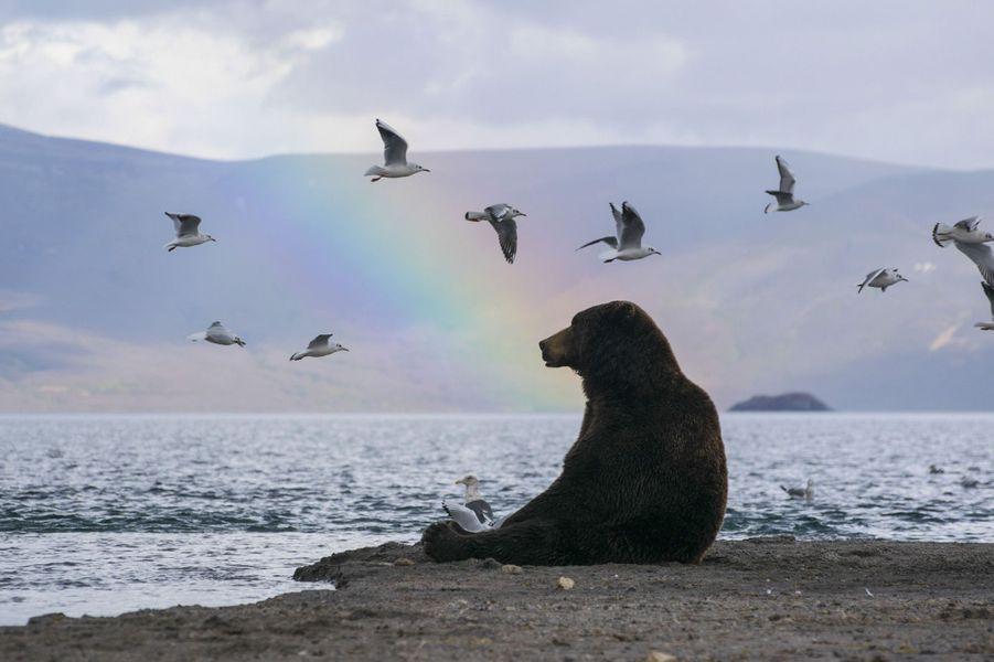 Une magnifique série de photos montre un ours brun en pleine admiration devant le spectacle d'un arc-en-ciel,dans la réserve naturelle de Kronotsky, en Russie.