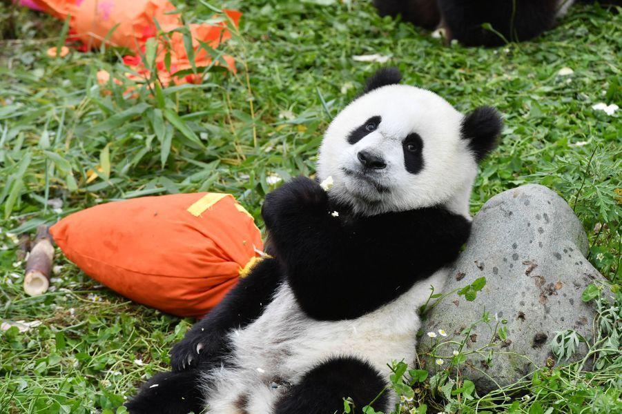 Le 25 juillet dernier, dix-huit pandas géants de la réserve naturelle de Wolong, dans le Sichuan, ont fêté leur premier anniversaire.