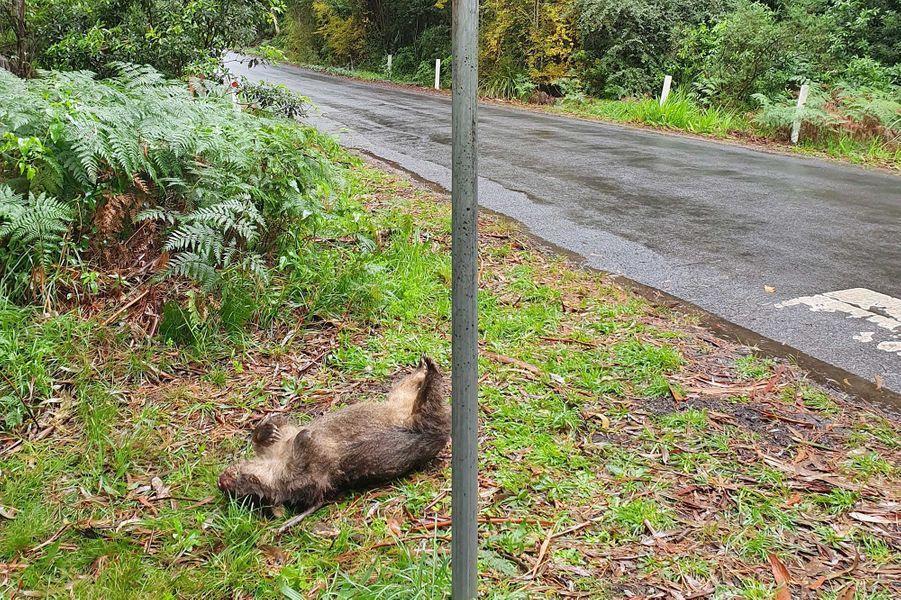 En Australie, un bébé wombat a été sauvé grâce à une césarienne pratiquée d'urgence au bord de la route.