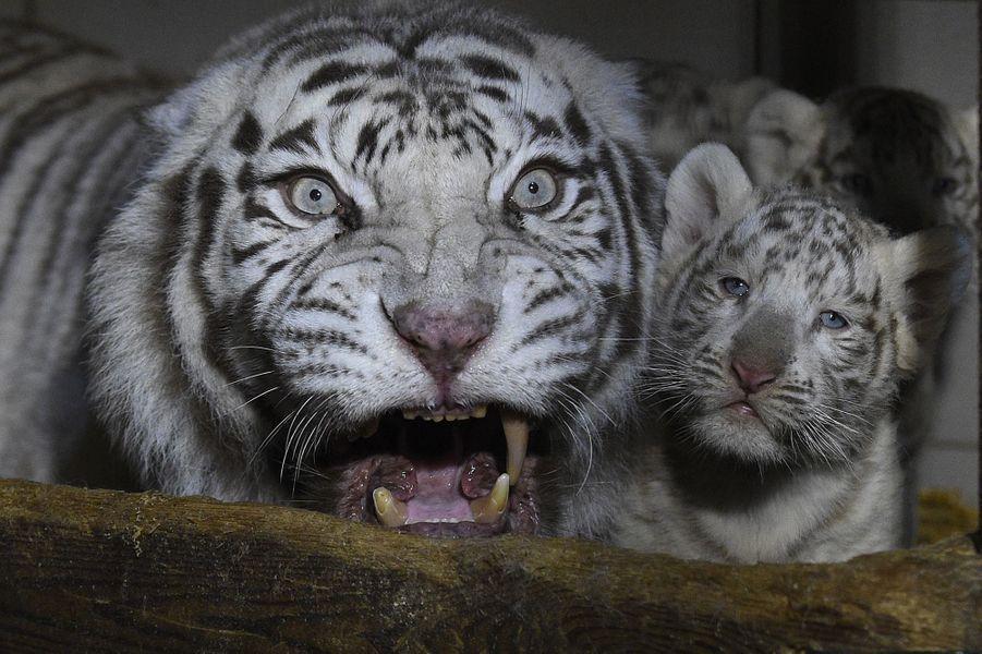 Aran, Hyunn, Fouyou et leur mère Orissa, au zoo d'Amnéville (Moselle).
