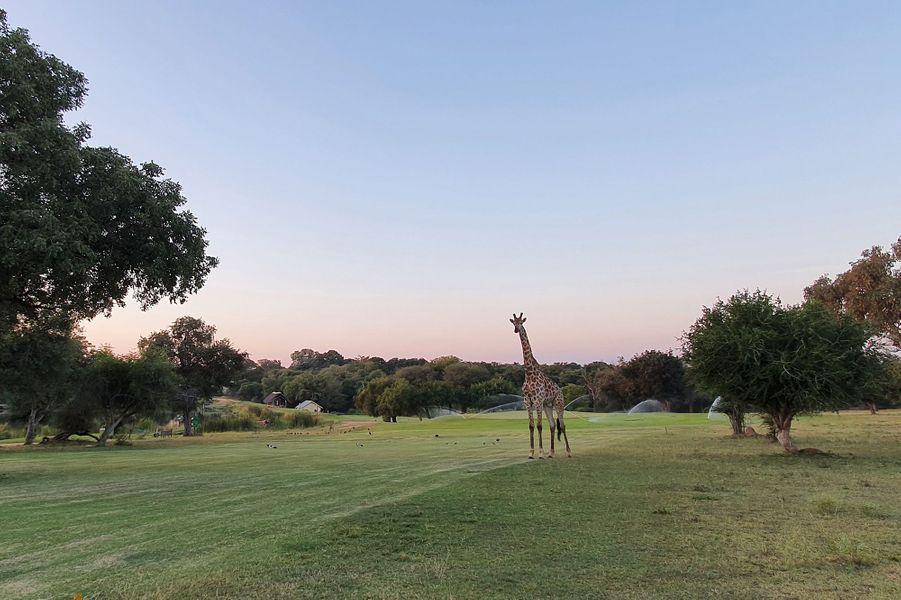 Situé à l'intérieur du Parc National Kruger en Afrique du Sud, le golf de Skukuza permet de taper des balles au milieu des animaux sauvages.