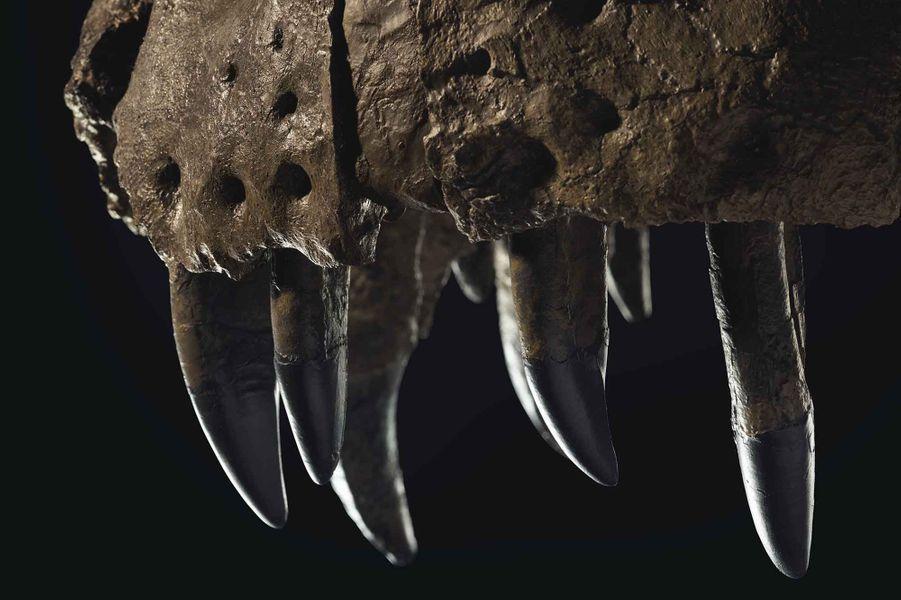 Le squelette de Stan le T-Rex, vieux de 67 millions d'années, est à vendre à New York par la maison Christie's et pourrait partir à plus de 6 millions de dollars.