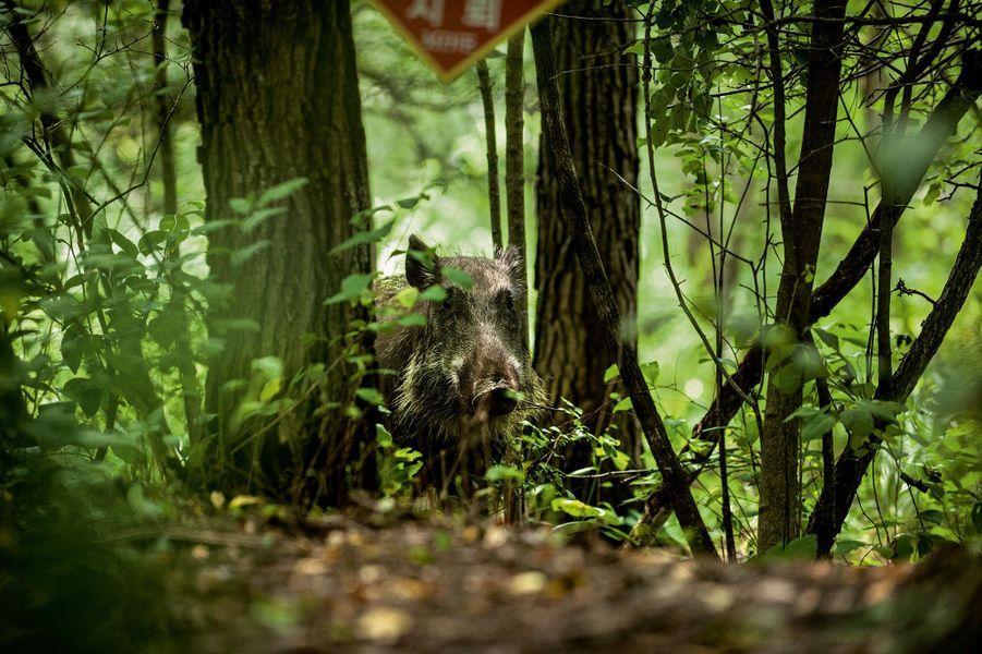 Un sanglier près d'un panneau signalant la présence de mines.