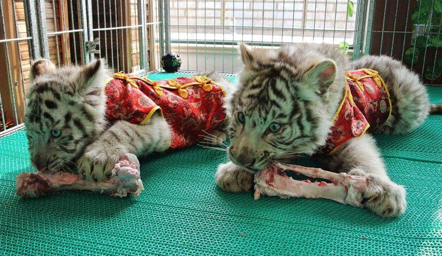 Dans leur cage au zoo de Qingdao, les petits tigres blancs, la fierté du pays, revêtent eux aussi la tenue traditionnelle chinoise.