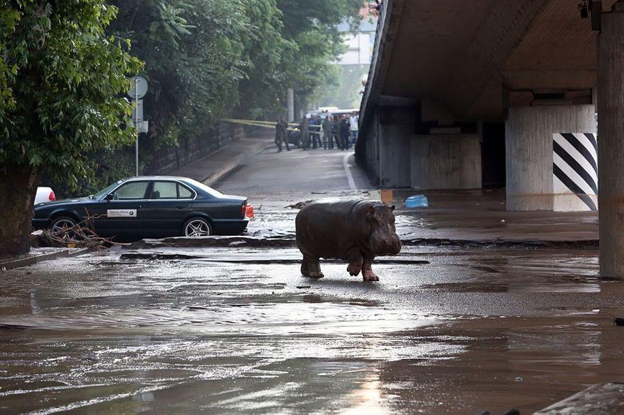 14 juin. Un hippotame en liberté à Tbilissi, après que des intempéries aient provoqué la fuite des animaux du zoo de la ville