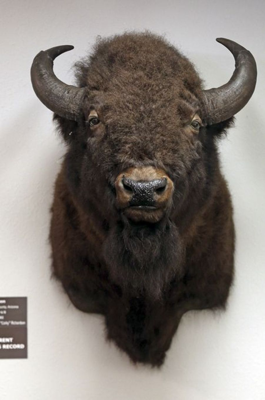 Trophée de bison