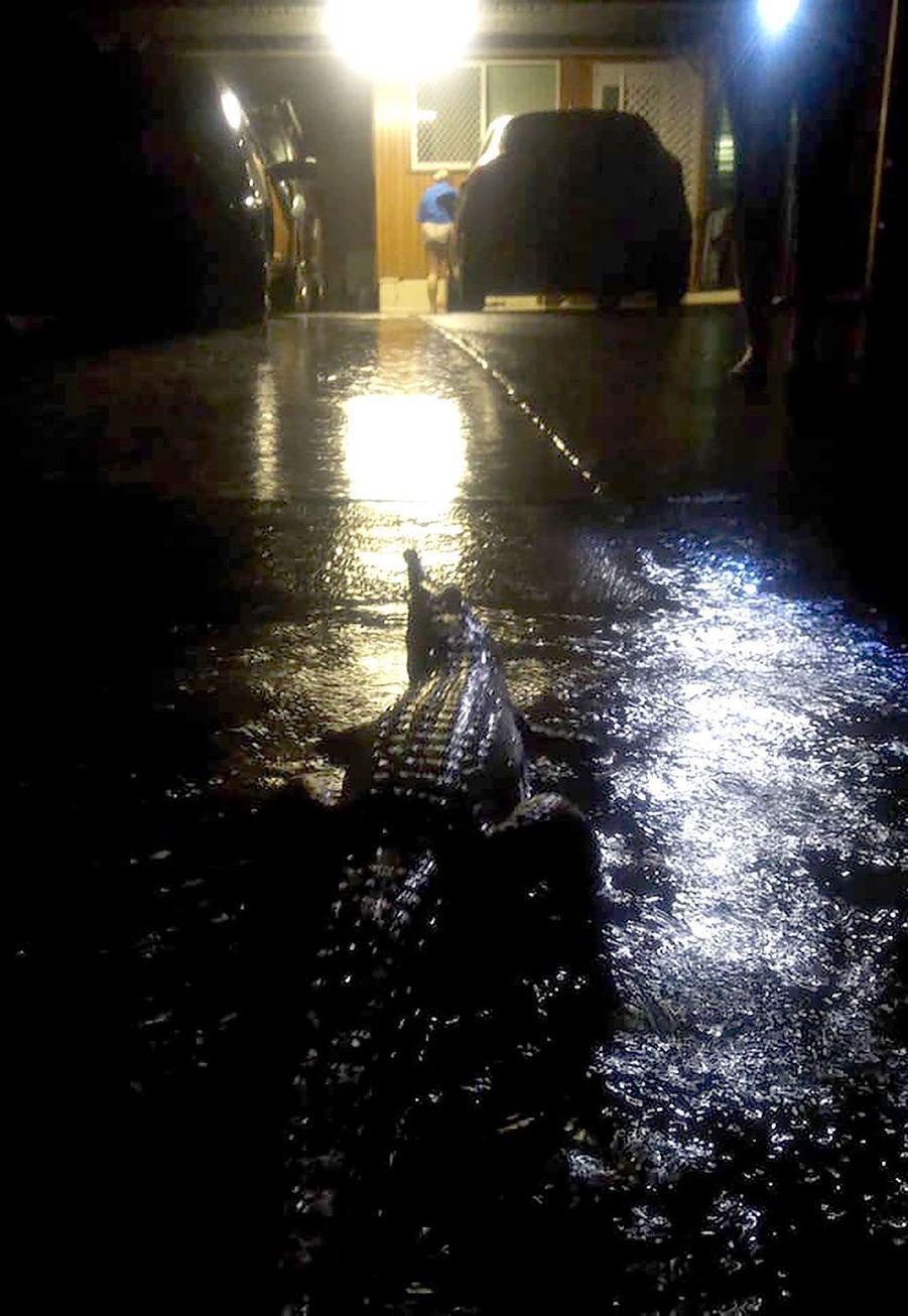 Un crocodile dans les rues deTownsville