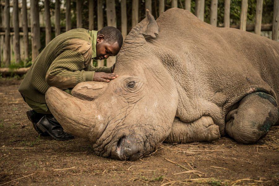 """Au Kenya, dans la réserve naturel de Ol Pejeta, un ranger veille """"Sudan"""", le dernier rhinocéros blanc, quelques instants avant son décès. Cette sous-espèce est braconnée pour sa corne. De 700 en 1970, il n'en reste plus aujourd'hui."""