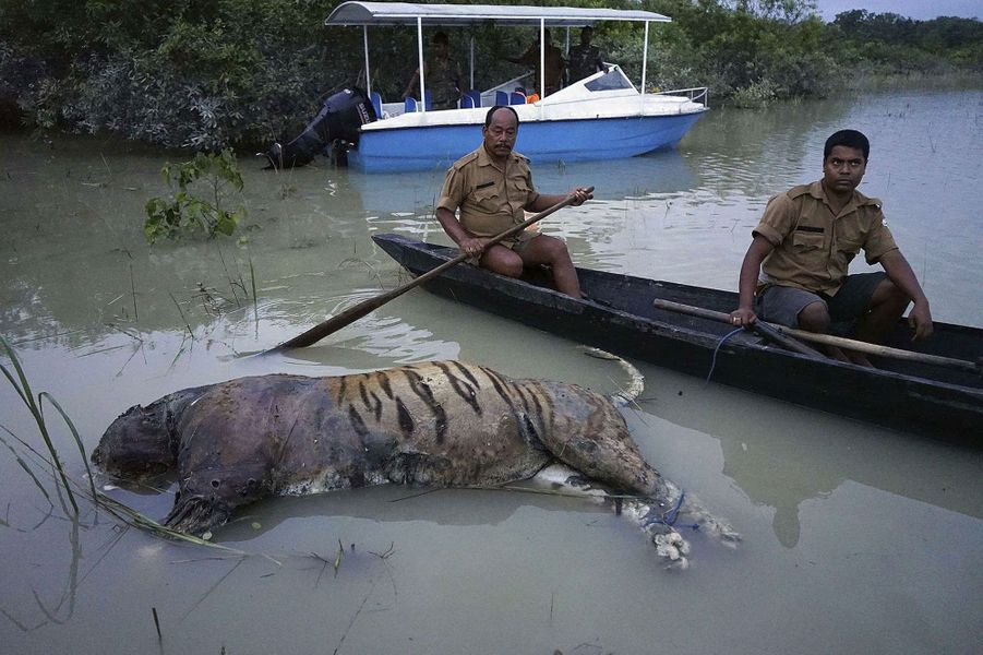 Un tigre mort dans leParc national de Kaziranga, dans l'Etatd'Assam, en Inde.