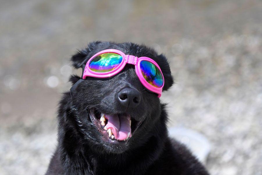 A Nashville dans le Tennessee, à près de 4000 km de Depoe Bay, le chien Madison est prêt pour l'éclipse.