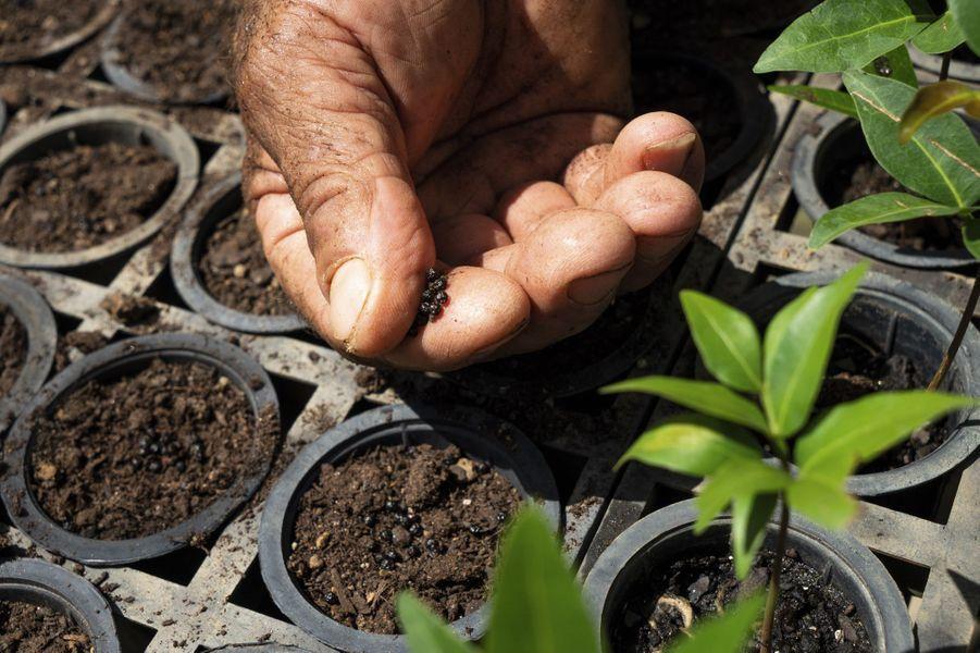 Semis de « Lantana camara », une des 300 espèces replantées dans la région.