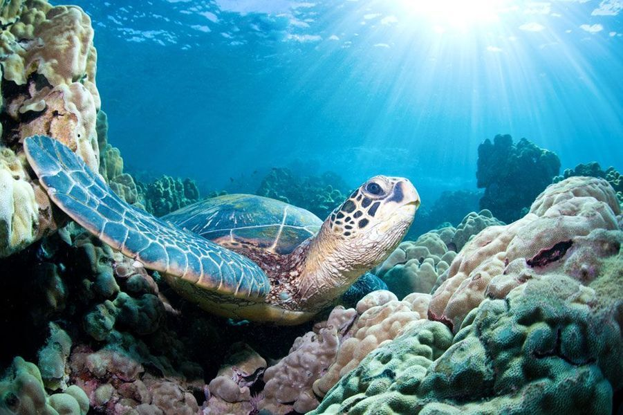 Une tortue de mer verte observée en plongée sous-marine sur le récif de corail à Maui, Hawaii.