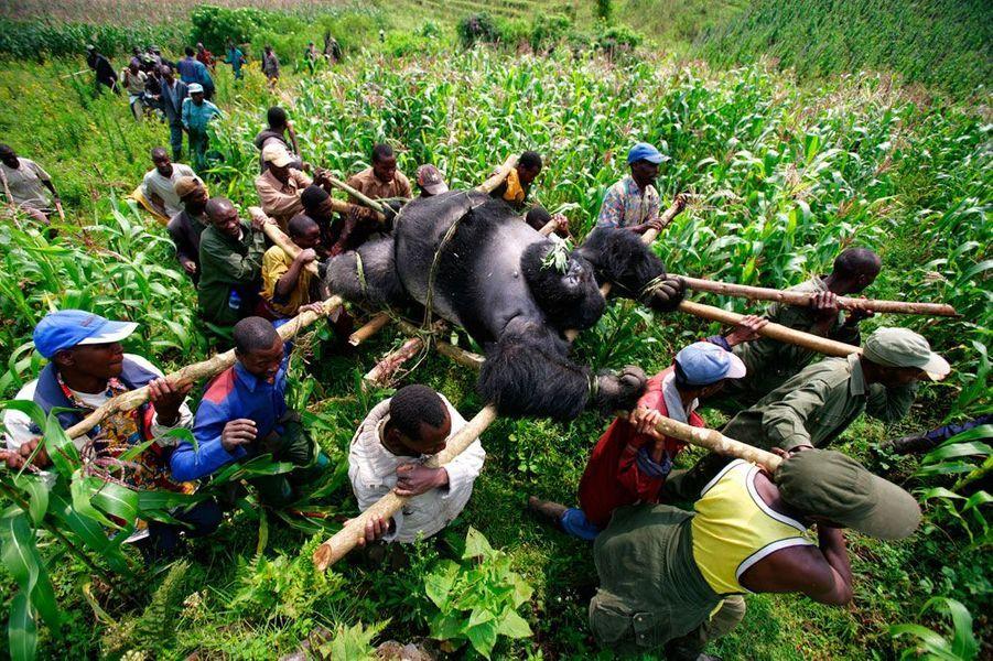 Le photojournaliste de Getty Images, Brent Stirton, s'intéresse à la protection de la faune et de la flore. Cette image qui montre un Gorille des Montagnes à dos argenté mort en République Démocratique du Congo a permis de lever plus de 50 millions de dollars pour la préservation des gorilles de cette espèce.