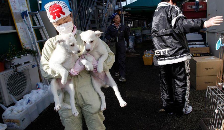 Le gouvernement japonais vient de lancer une opération d'évacuation des animaux domestiques qui se trouvent toujours dans la zone contaminée de Fukushima. Depuis hier, les chercheurs prélèvent des échantillons sur les animaux et végétaux sauvages autour de la centrale nucléaire accidentée afin d'étudier l'impact de forts rayonnements ionisants sur leurs gènes.